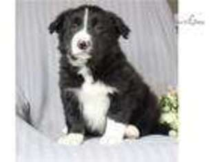 Border Collie Puppy for sale in Harrisburg, PA, USA