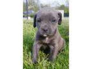 Cane Corso Puppy for sale in Gerrardstown, WV, USA