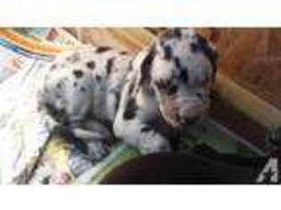 View Ad Great Dane Puppy For Sale Missouri Fulton Usa