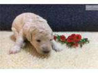 Shepadoodle Puppy for sale in Ann Arbor, MI, USA