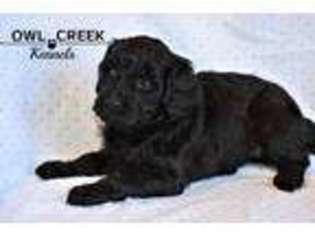 Puppyfinder com: Goldendoodle puppies puppies for sale near
