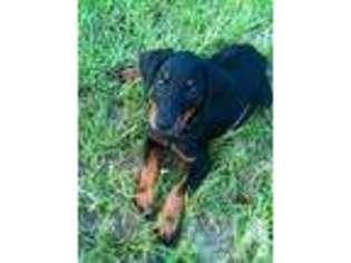 View Ad Doberman Pinscher Puppy For Sale South Carolina Aiken Usa