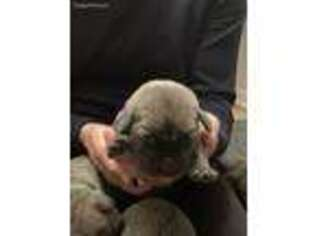 Medium Photo #1 Cane Corso Puppy For Sale in Port Norris, NJ, USA