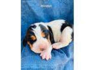Basset Hound Puppy for sale in Ireton, IA, USA