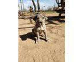 Puppyfinder Com Great Dane Puppies Puppies For Sale Near Me In