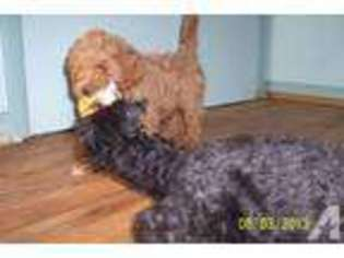 View Ad: Cock-A-Poo Puppy for Sale near Indiana, SOUTH BEND