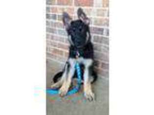 German Shepherd Dog Puppy for sale in Richmond, KY, USA