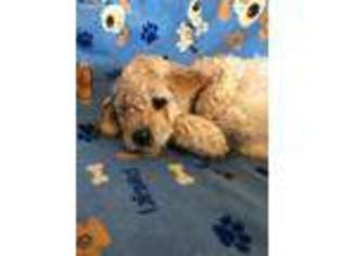 View Ad Goldendoodle Puppy For Sale Near New Jersey South