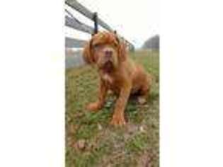 American Bull Dogue De Bordeaux Puppy for sale in Middlebury, IN, USA