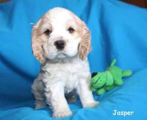 View Ad Cocker Spaniel Puppy For Sale Near Indiana Schererville