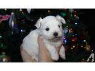 Puppyfinder com: Maltese puppies for sale and Maltese dogs