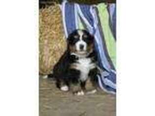Bernese Mountain Dog Puppy for sale in Lititz, PA, USA