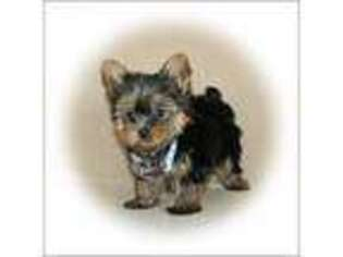 Yorkshire Terrier Puppy for sale in Rock Rapids, IA, USA