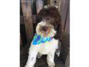 View Ad: Labradoodle Puppy for Sale near Illinois