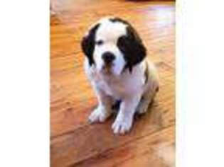 View Ad Saint Bernard Puppy For Sale Near North Carolina Vale Usa Adn 05219457034