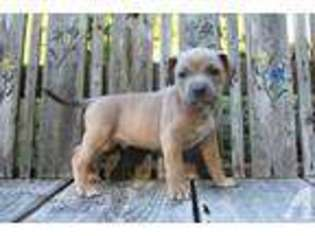 View Ad: American Pit Bull Terrier Puppy for Sale near