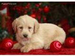 Labradoodle Puppy for sale in Millersburg, PA, USA