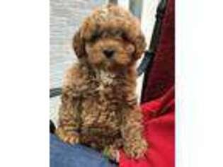 Puppyfinder Com Cavapoo Puppies For Sale Near Me In Texas Usa