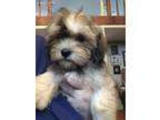Puppyfinder com: Havanese puppies puppies for sale near me