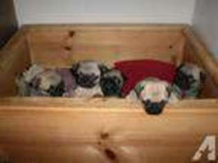 View Ad Pug Puppy For Sale Texas Pasadena Usa