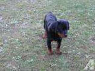 View Ad Rottweiler Puppy For Sale Pennsylvania Robertsdale Usa