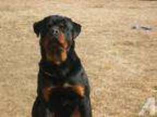 View Ad Rottweiler Puppy For Sale Idaho Idaho Falls Usa
