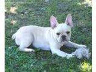 View Ad French Bulldog Puppy For Sale Illinois Anna Usa