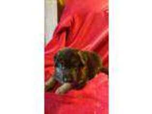 German Shepherd Dog Puppy For Sale near Tuscola, IL, USA