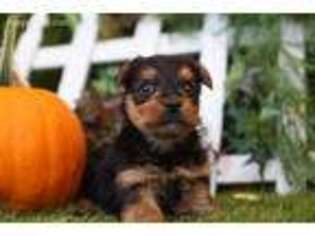 Yorkshire Terrier Puppy for sale in Lake Mills, IA, USA