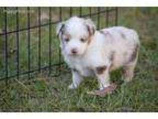 View Ad Miniature Australian Shepherd Puppy For Sale Texas