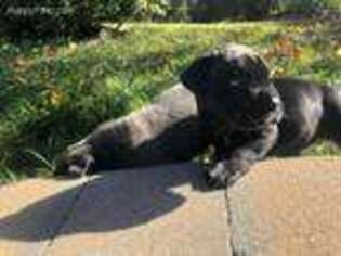 Cane Corso Puppy for sale in Port Ewen, NY, USA