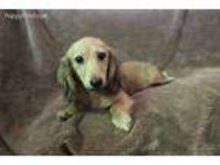 View Ad Dachshund Puppy For Sale Louisiana Lake Charles Usa