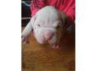 American Bulldog Puppy for sale in Martin, GA, USA