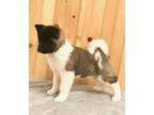 Akita Puppy for sale in Elizabethville, PA, USA