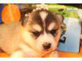 Alaskan Klee Kai Puppy for sale in Unknown, , USA