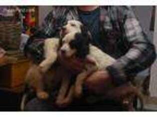 English Setter Puppy for sale in Amboy, WA, USA