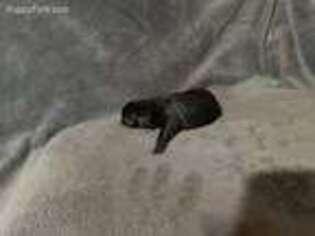 Labrador Retriever Puppy for sale in Hazlehurst, GA, USA
