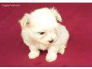 Puppyfinder com: Maltese puppies puppies for sale near me in New
