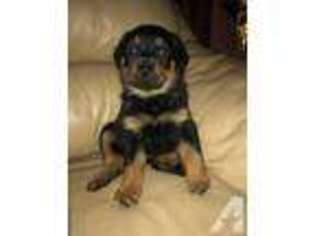 View Ad Rottweiler Puppy For Sale New York New Hamburg Usa