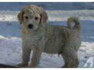 View Ad Labradoodle Puppy For Sale Ohio Bryan Usa