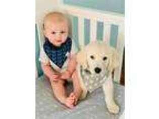 Golden Retriever Puppy for sale in Unknown, , USA