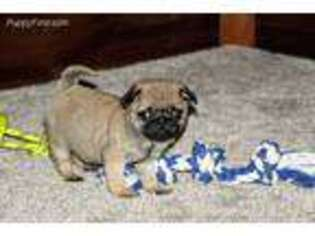 Pug Puppy for sale in Sugarcreek, OH, USA
