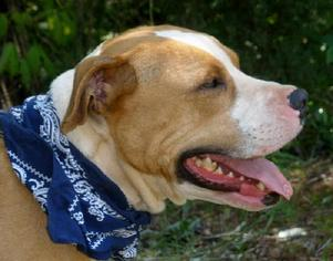 American Pit Bull Terrier Mix Dog For Adoption in Greenville, SC, USA