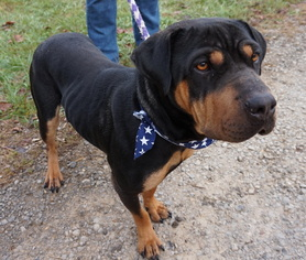 Chinese Shar Pei Rottweiler Mix Dog For Adoption In Son Tn Usa