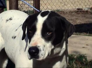 Borador Dog For Adoption in Tyler, TX