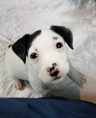 American Pit Bull Terrier-Rat Terrier Mix dog
