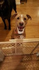 Borador Dog For Adoption in Nicholasville, KY