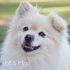 Pomeranian Mix Dog For Adoption in Lake Elsinore, CA, USA