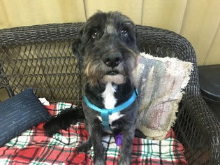 Sheepadoodle Dog For Adoption in Pacolet, SC, USA