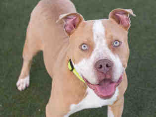 American Pit Bull Terrier Dog For Adoption in Martinez, CA